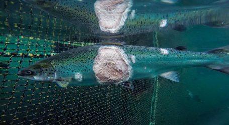 Quello che mangi non è un salmone (quello che stai facendo estinguere, sì)