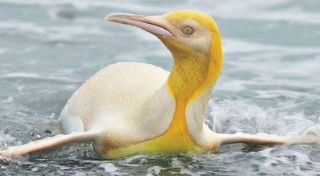 """Un Fotografo Naturalista ha Catturato un Pinguino Giallo """"Mai Visto Prima"""""""